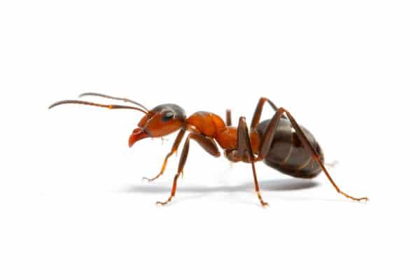 Мравки - ДДД услуги за мравките - Саниста ВИП