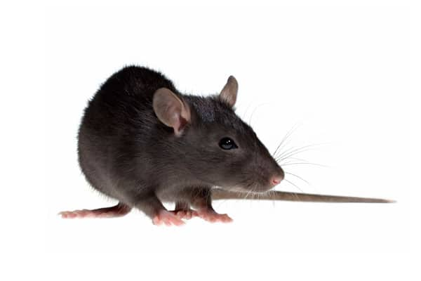 Плъхове и мишки - ДДД услуги - Саниста ВИП