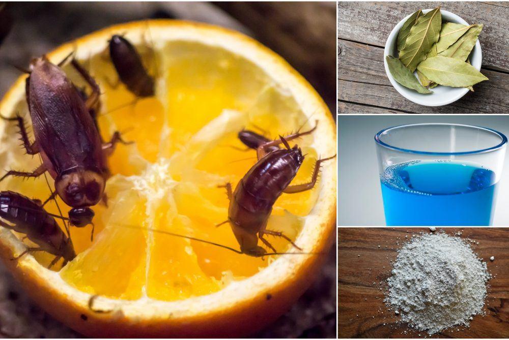 Хлебарка и различни начини за борба с хлебарките в домашни условия-sanista.net
