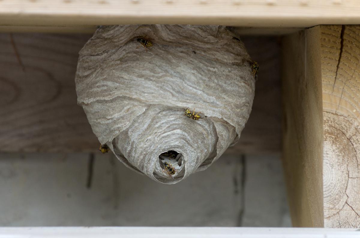 Осите и тяхното гнездо от хартиена каша - Саниста ВИП