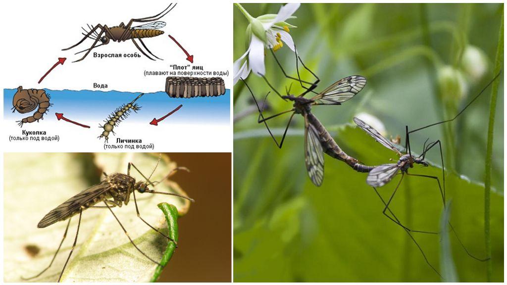 Жизнен цикъл на комара - Саниста ВИП