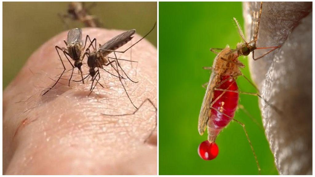Комар кйто смучи кръв - Санист ВИП