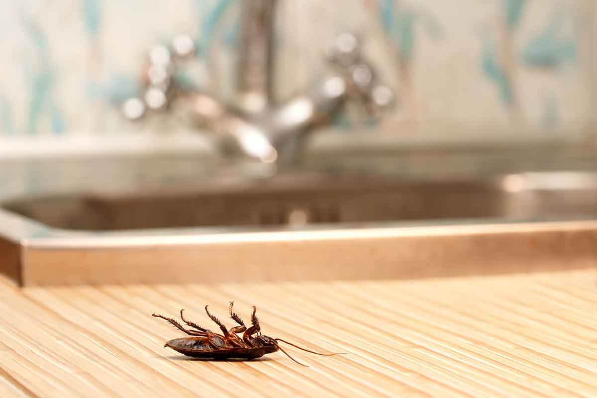 Хлебарки - превенция - убиване - ДДД услуги - Саниста ВИП