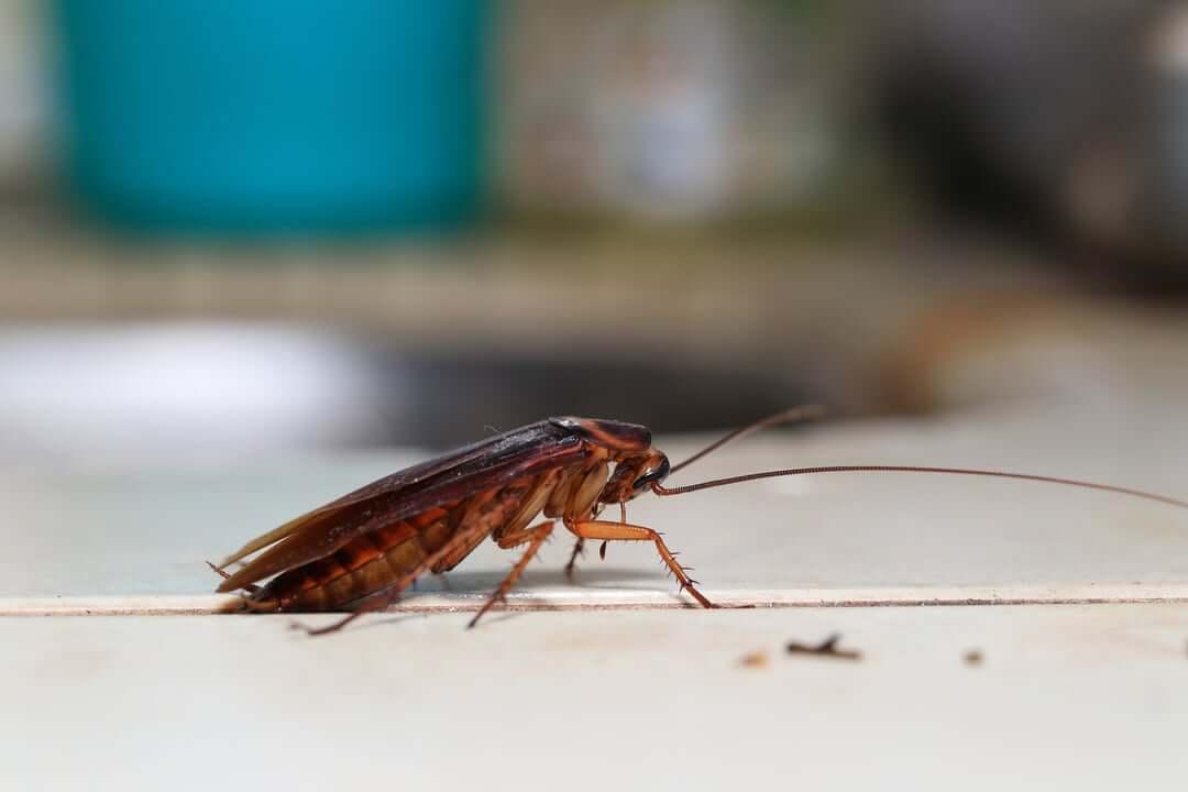 Хлебарки - унищожаване и превенция - ДДД услуги - Саниста ВИП