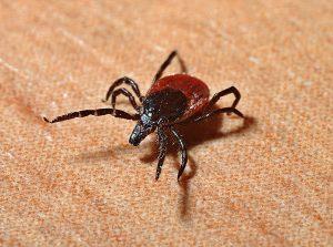 Кърлеж - паякообразен паразит от подклас акари - Санста ВИП