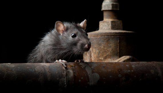 Плъхове - мишки - борба с гризачи от Саниста ВИП
