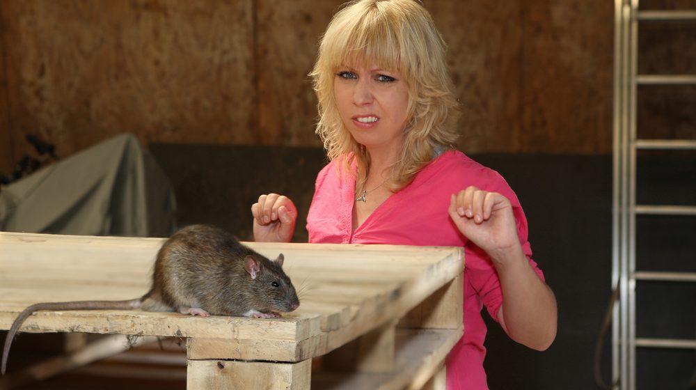 Плахове - мишки - неприятна среща в дома. Снимка към статия на Саниста ВИП