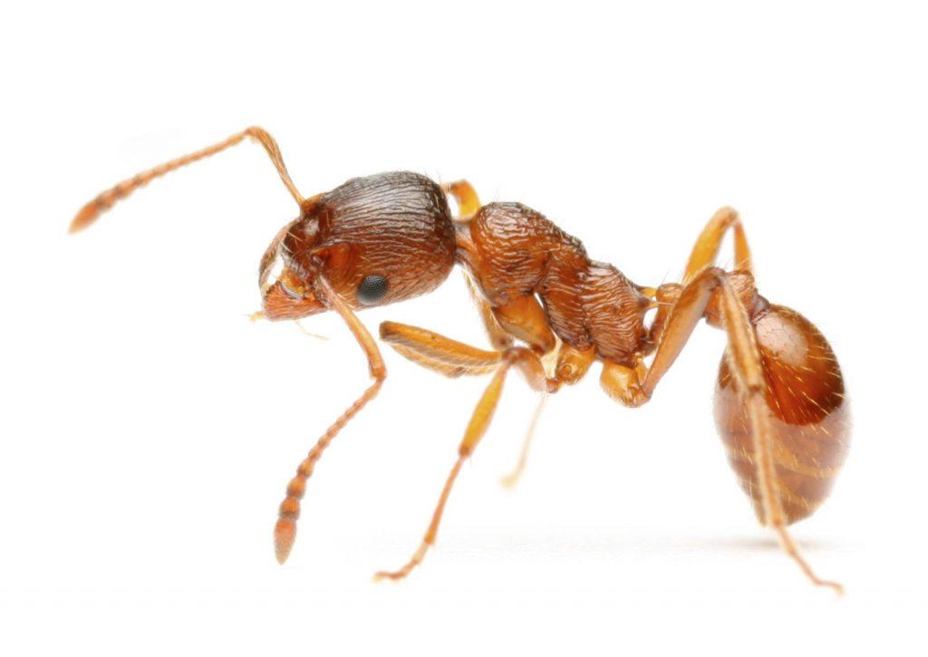 Насекоми - мравки. Този вид насекоми са постоянен спътник на хората.
