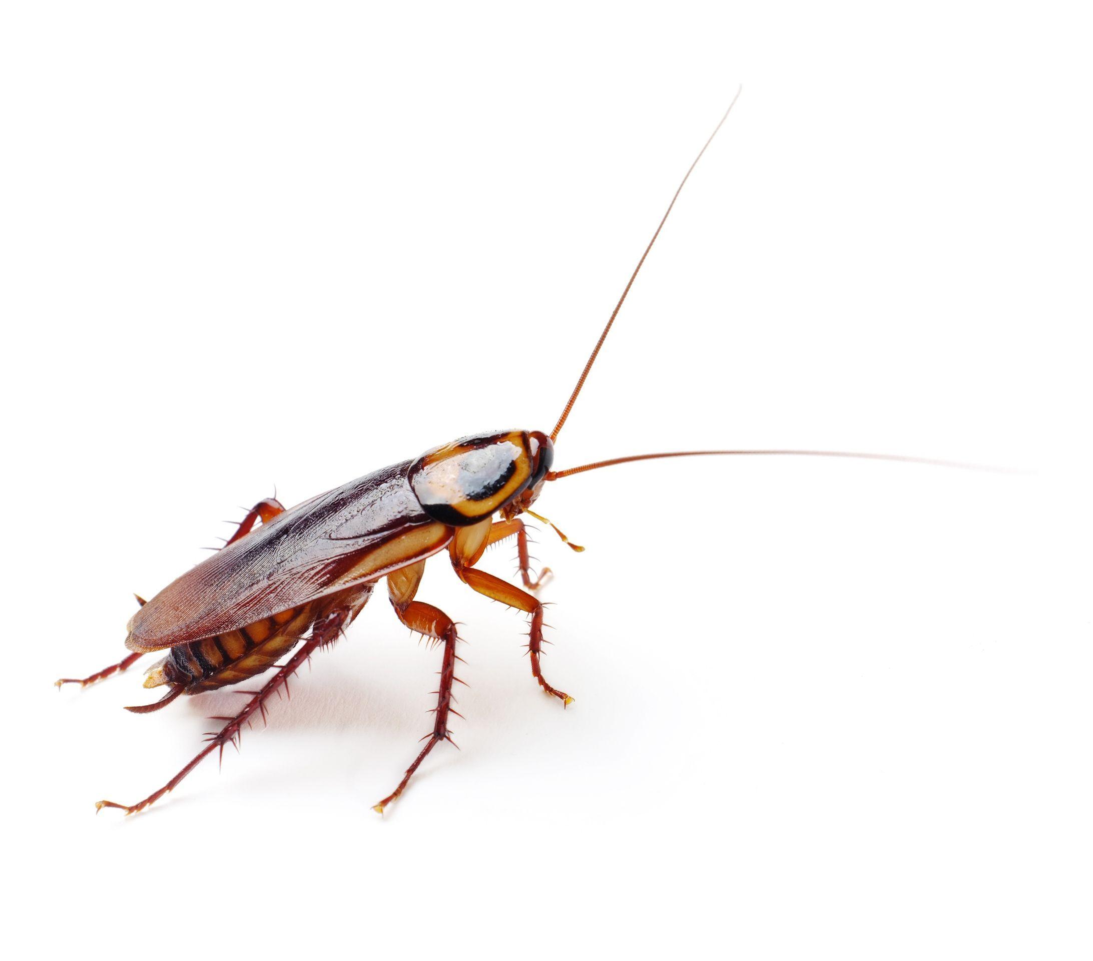 Насекоми - хлебарки. Те са едни от най-древните обитатели на нашата планета.