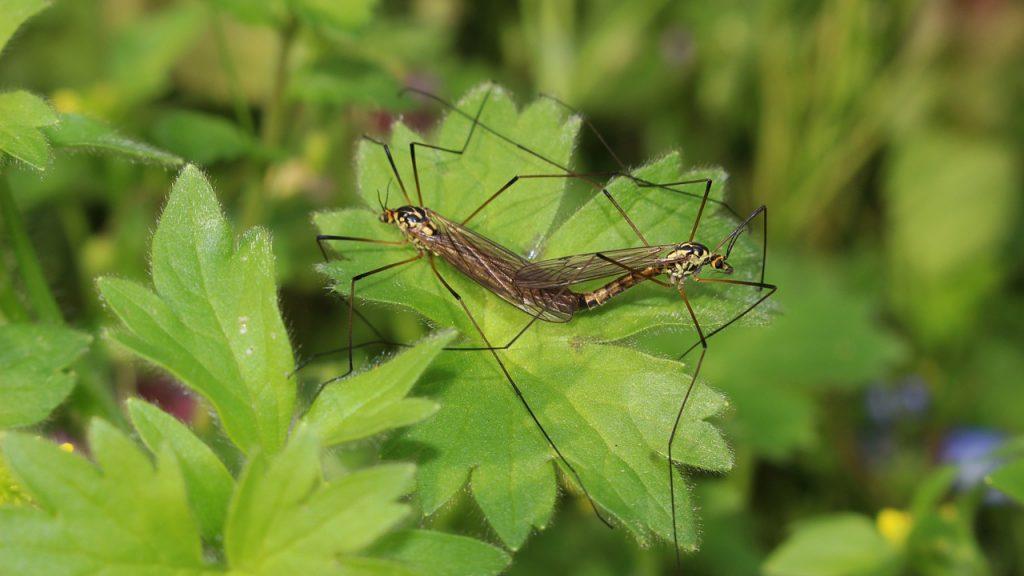 Комари в градината. Комарите предпочитат места с по-висока влажност и градините и зелените площи са едни от тях.