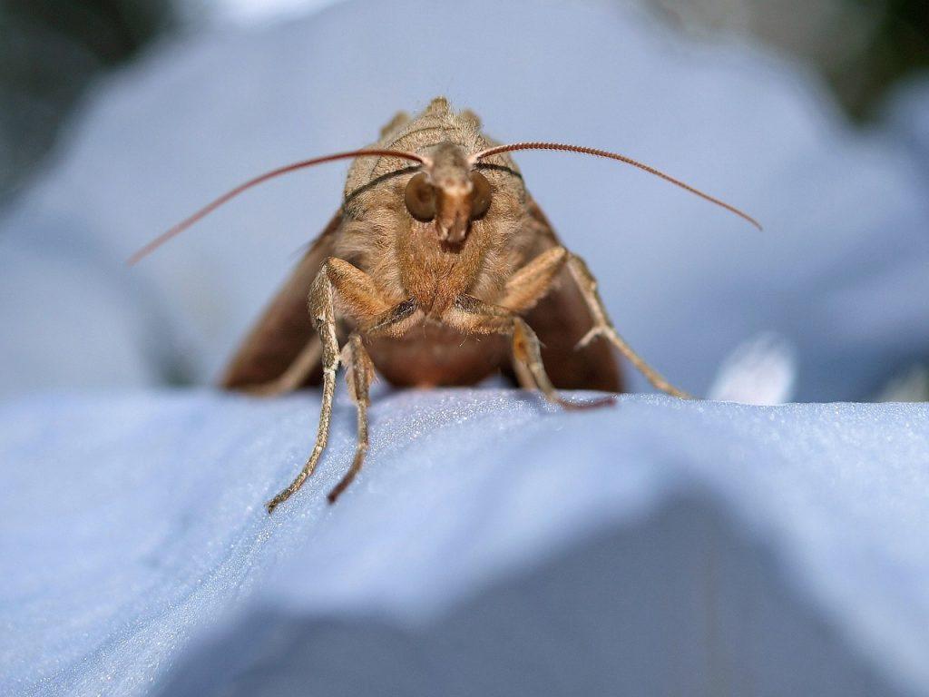 Молци в дома и природата. Освен в домовете, тези пеперуди живеят свободно в природата. Снимка от сайта Pixabay