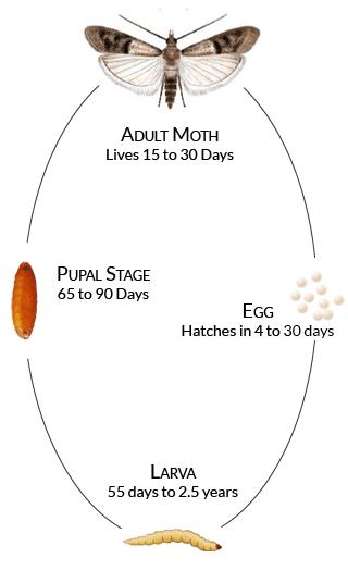 Стадии в развитието на молеца - яйца, ларва, какавида, молец