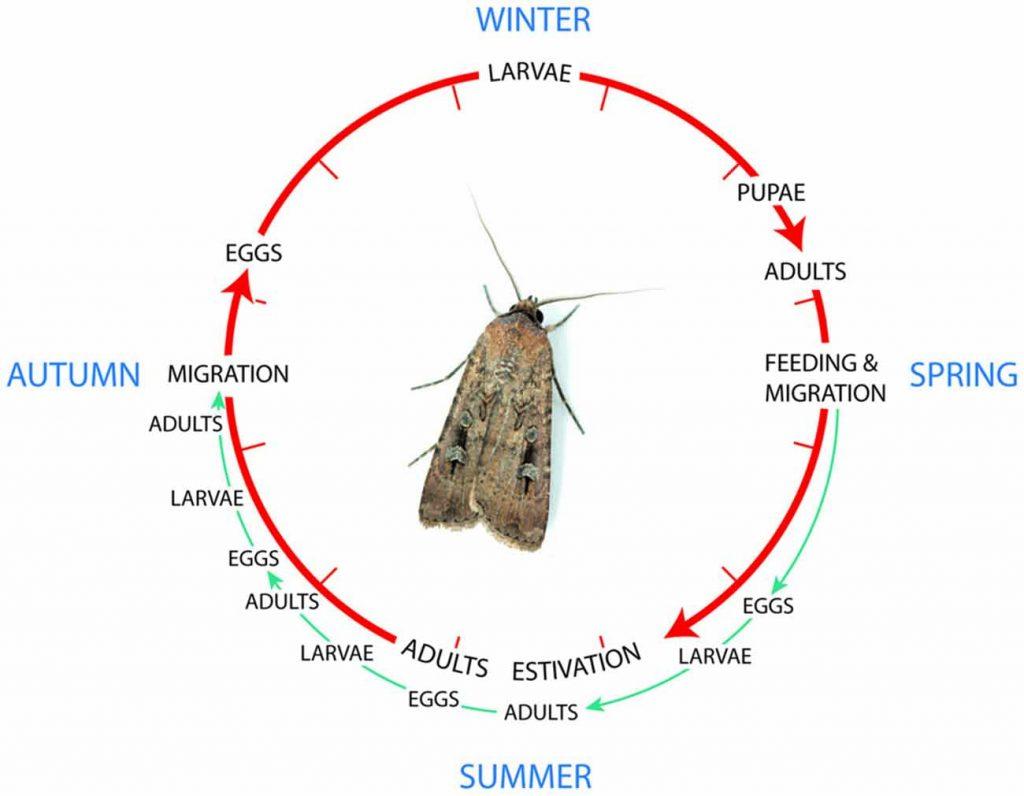 Жизнен цикъл на молеца през различните сезони