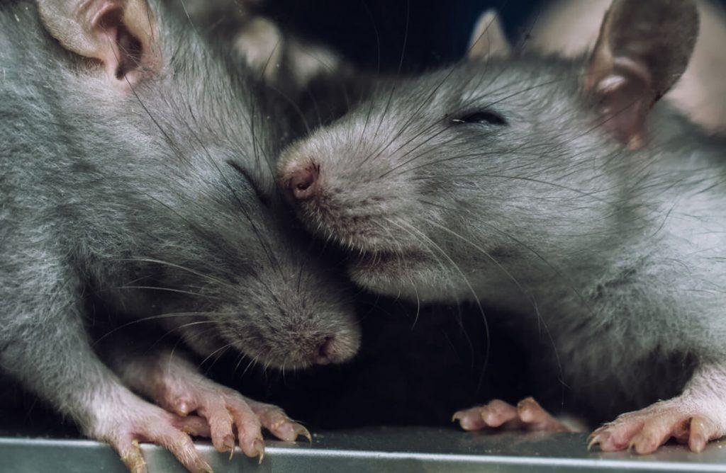 Гризачи - размножаване. Тези вредители се размножават много бързо и раждат по 7 - 10 малки.
