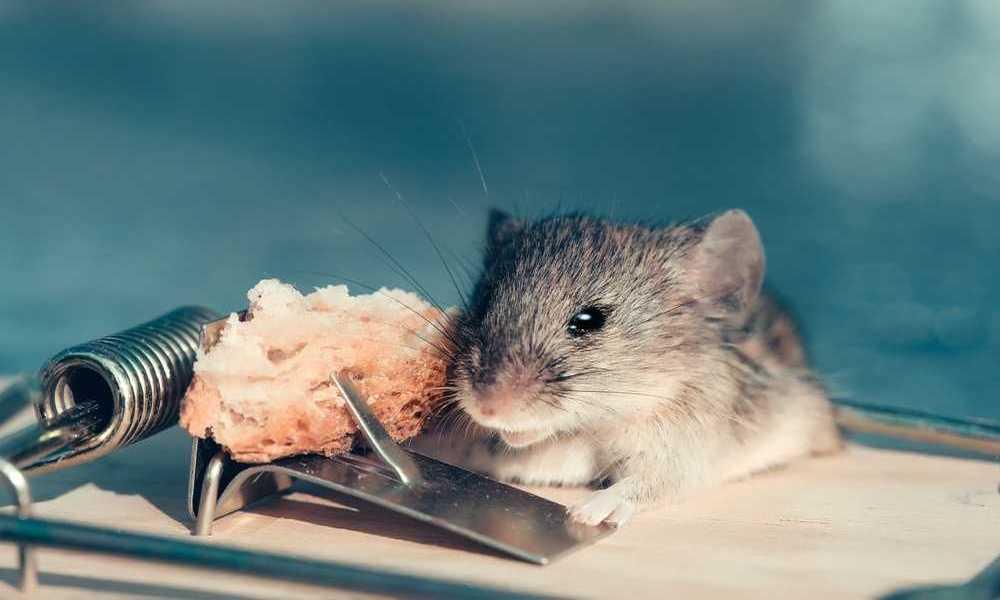 Мишка заловена в механичен капан - примамена от заложената храна и при допир с нея, рамото на капана я притиска .