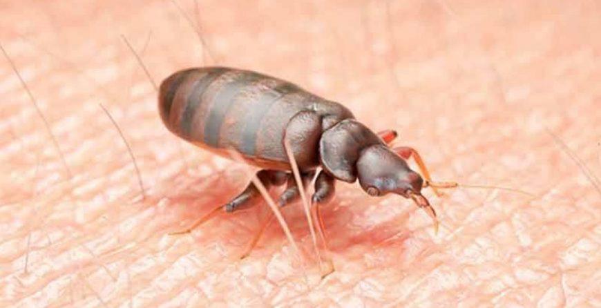 Дървеница - най разпространена е креватната дървеница. Тя е кръвосмучеща и паразитира по хората и животните.