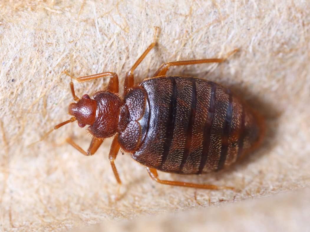 Видове дървеници. Има над 100 вида, но всички нападат човека. Хората най-често се нападат от Креватната дървеница и от Тропическите дървеници.