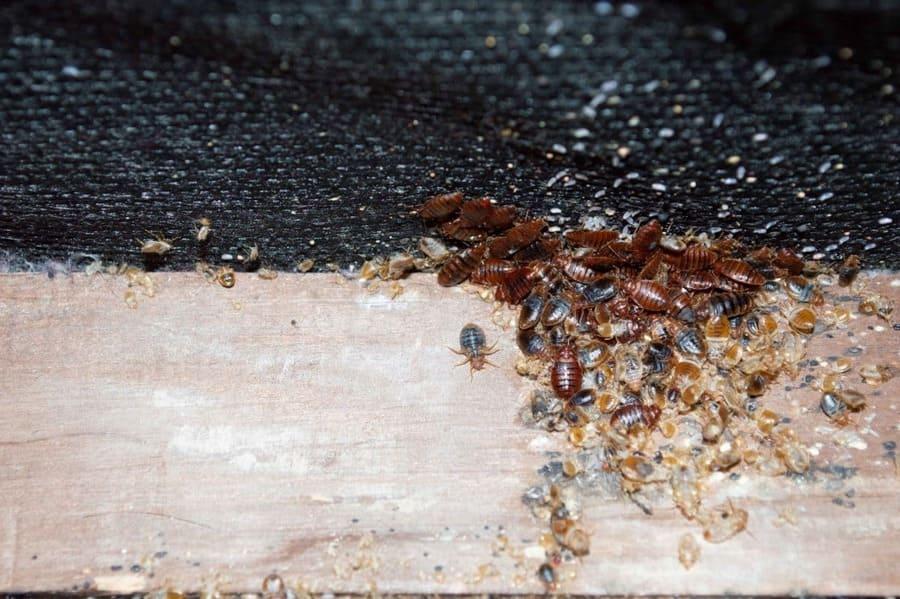 Дървеници - дребни пълзящи насекоми с плоско тяло в червено-кафяв цвят в зависимост от възрастта, вида и пола им.
