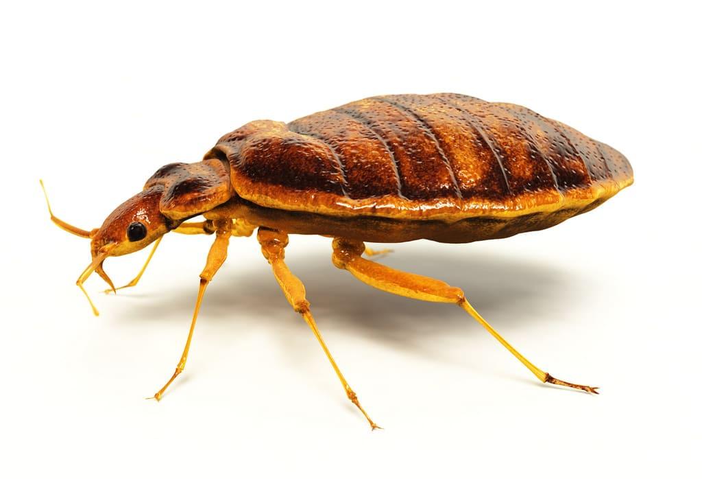Дървениците са малки насекоми с плоска форма. Придвижват се с пълзене. Цветът им варира в различни нюанси на кафявото.