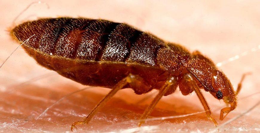 Ухапване от дървеница - тези насекоми нападат хора и животни. теса кръвосмучещи и атакуват жертвите си само нощно време.