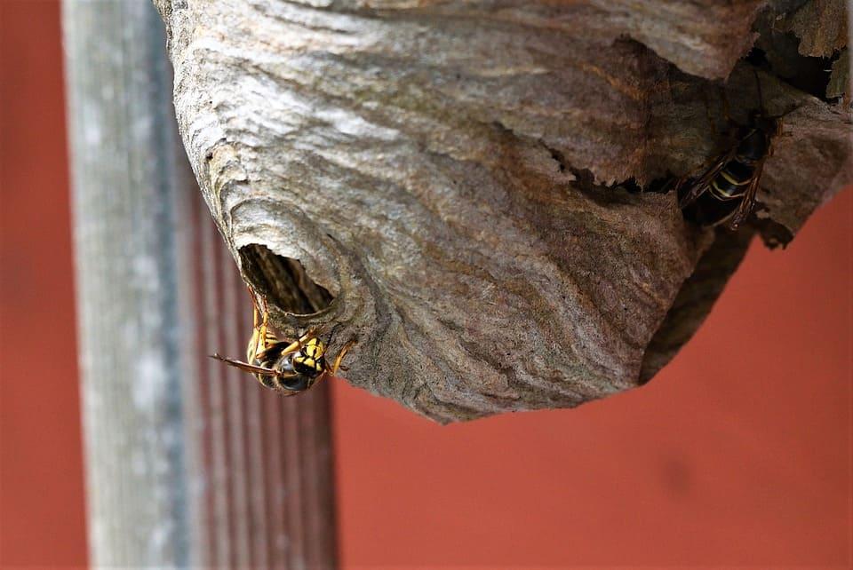 Гнездо на оси - Цветът му обикновено е в сивата гама. Гнездата са разположени на закрити места, за да са възможно най-предпазени от неблагоприятни фактори.