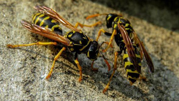 Осите - летящи насекоми, живеещи в гнезда хранещи се с нектар, плодове и други насекоми.