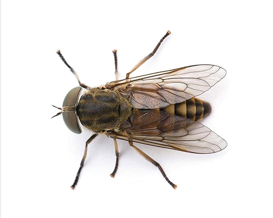 конска муха кацнала на бял фон