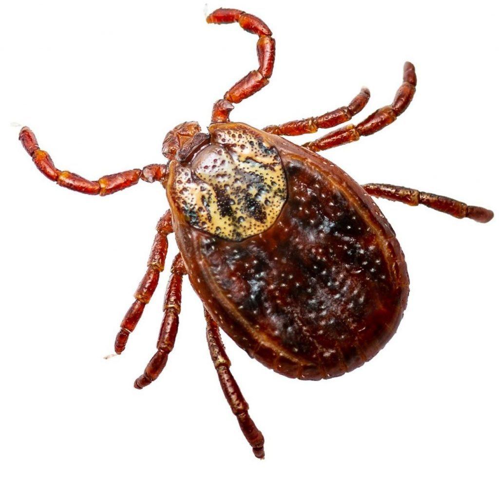 кърлеж - детайлна снимка на пълзящото насекомо - фирма за ДДД услуги Саниста