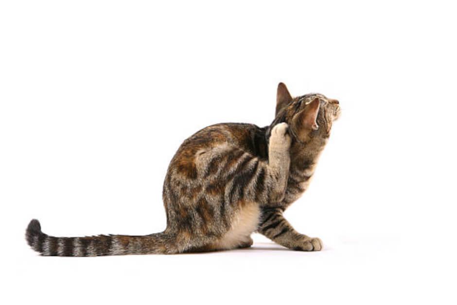 Котка се чеше заради бълхи