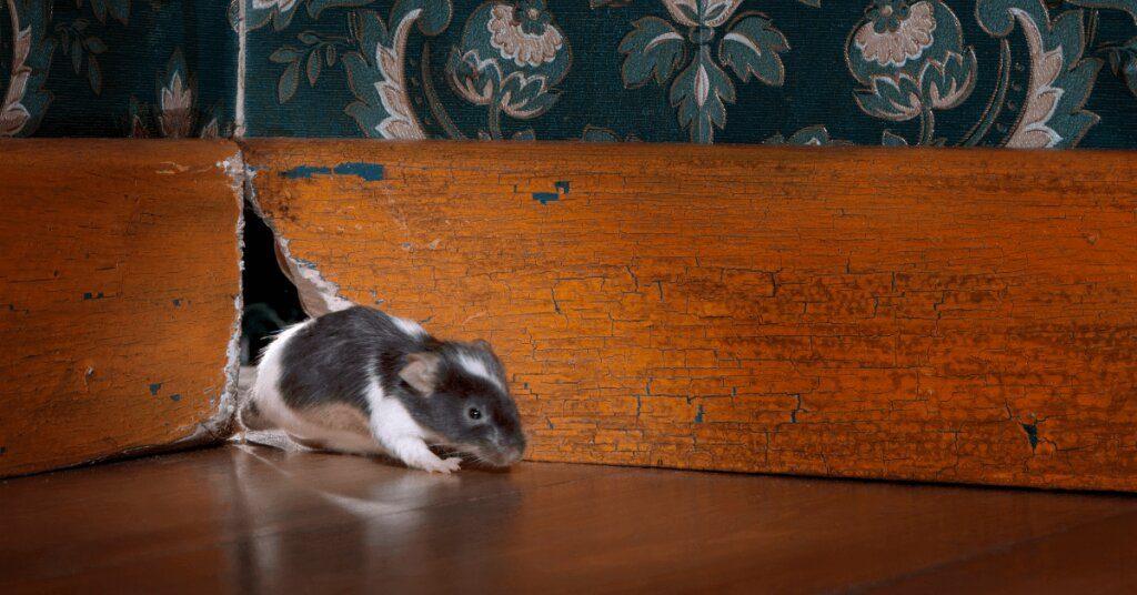 Мишка излиза от дупка в стената