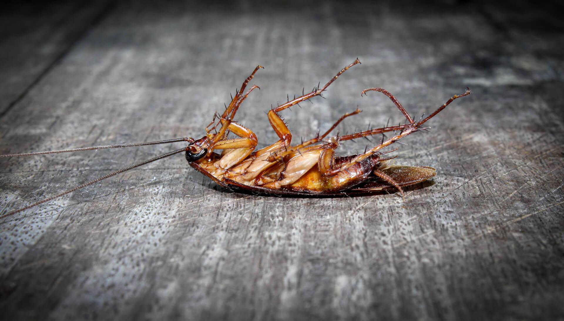 Кафява хлебарка